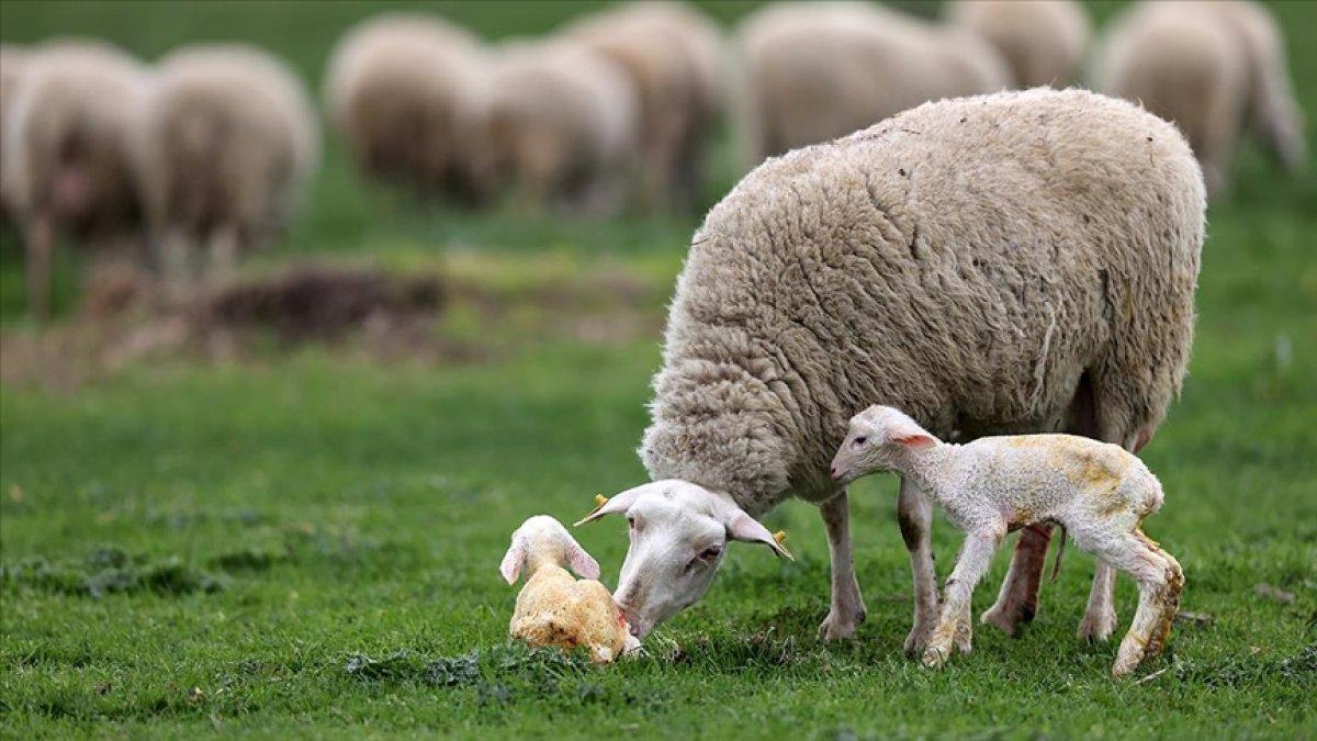 TÜDKİYEB: Nüfus başına bir küçükbaş hayvan hedefine 7 yıl var #1